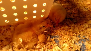EGGS ARE HATCHING AT OLY WEST!!!